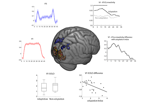 Brain networks and dynamics in visual adaptation   Adaptive Brain Lab